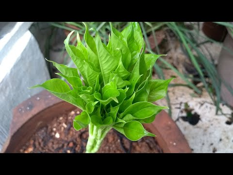 DIY HOW TO GROW SURAN / YAM AT HOME / Hobby Gardening