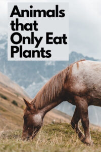 Horse is an animal that only eat plants